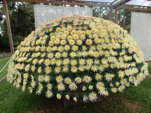 1600輪の大立菊
