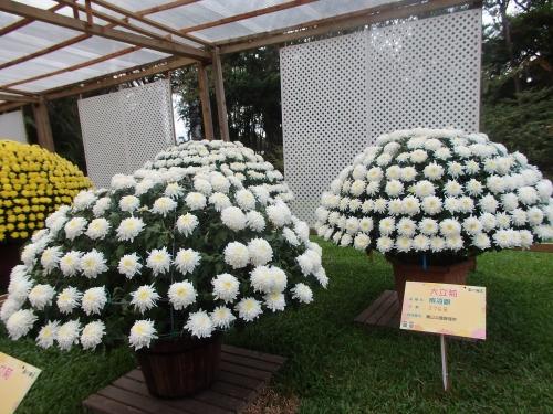 様々な大立菊