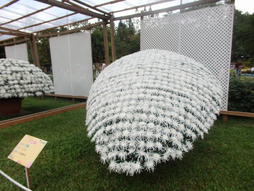 ユニークな形の大立菊