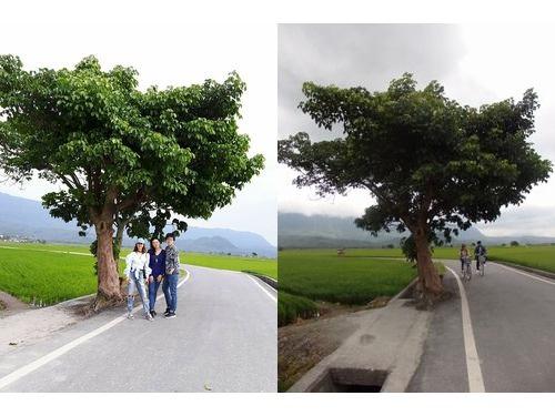 ジョリンの木(左=ジョリン・ツァイ公式フェイスブックより、右=記者撮影)
