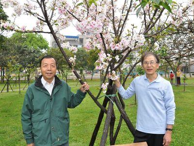 新竹のシルバー世代、日本からの桜の手入れに燃える