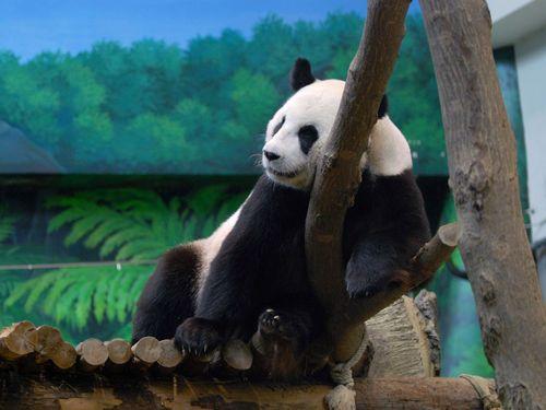 2年目の正直なるか  台湾のパンダ、妊娠の兆候