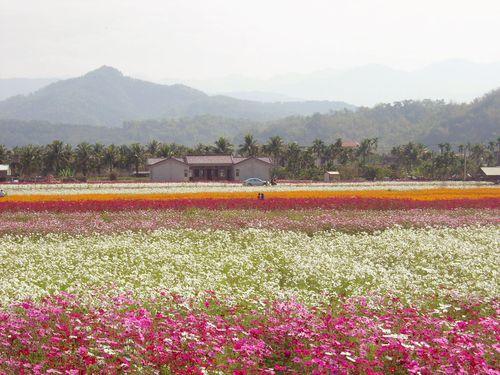 約80ヘクタールの花畑が旧正月をお迎え/台湾・高雄
