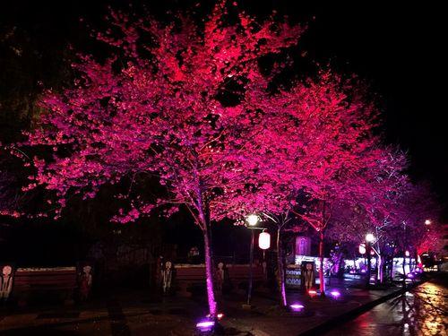 台北郊外・烏来でヒカンザクラ満開  夜桜鑑賞イベントも/台湾