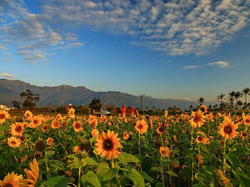 5万株のヒマワリ咲き誇る 無料で花摘み開放/台湾・花蓮