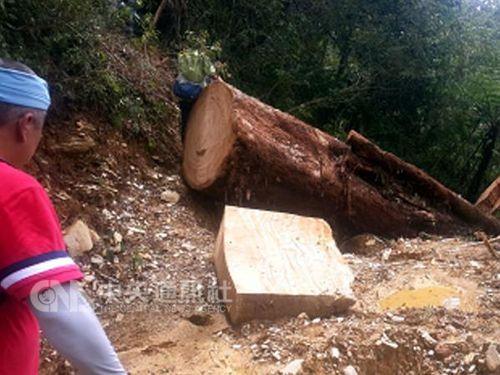 森林で木材窃盗の男、イノシシ2頭を先住民に献上し謝罪/台湾