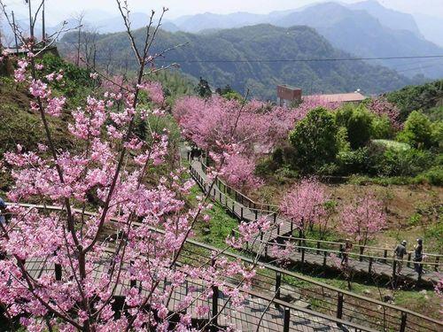 台湾・阿里山で桜が見頃