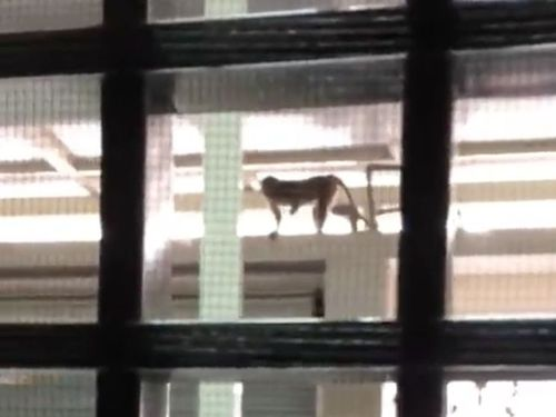 襲ってくる「サル」に女子大生悲鳴 県政府もお手上げ/台湾・雲林