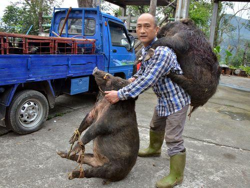 先住民の男性、単独で巨大イノシシ2頭捕獲/台湾