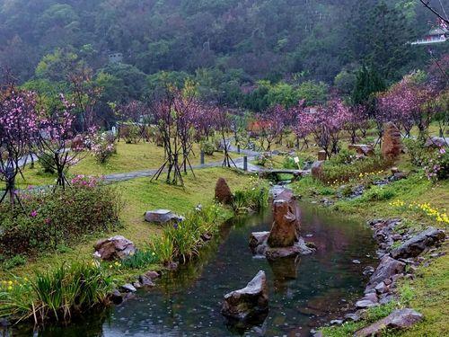 陽明山のショウワザクラもうすぐ満開  見頃は月末まで/台湾