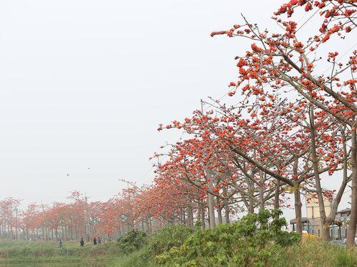 台南・白河に春の訪れ  オレンジ色の花が小道を彩る/台湾