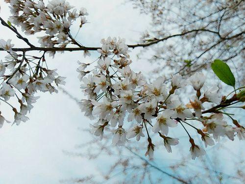 桃園拉拉山のムシャザクラが見頃 台湾固有種の白い桜