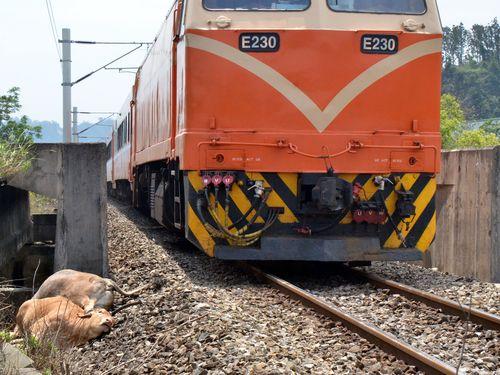 電車が牛の群れと衝突=6頭死ぬ/台湾