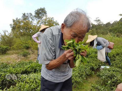 台湾最高齢  百寿者の茶職人、独自の技で東方美人茶作り続ける