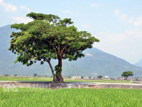 「ジョリンの木」(手前)と200メートル離れた「金城武の木」(右)
