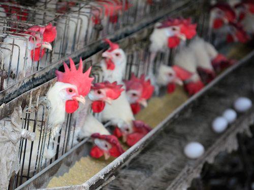 ニワトリ4万羽超を焼却処分へ 卵からダイオキシン検出/台湾