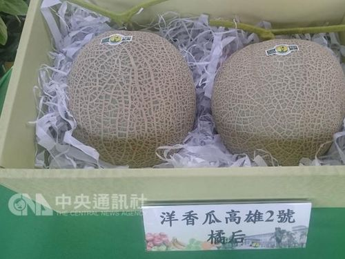 メロンの新品種「橘后」、Uターン就農の新たな選択肢に/台湾