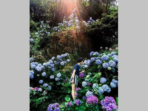 陽明山で撮影 アジサイの風景、IG公式で紹介される/台湾