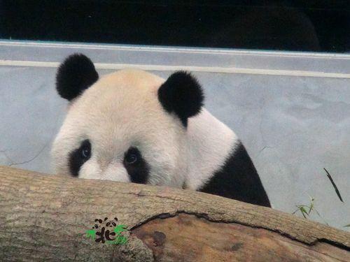 """パンダの円仔、お姉さんになるのはまだ先に 母・円円は""""偽妊娠""""/台湾"""