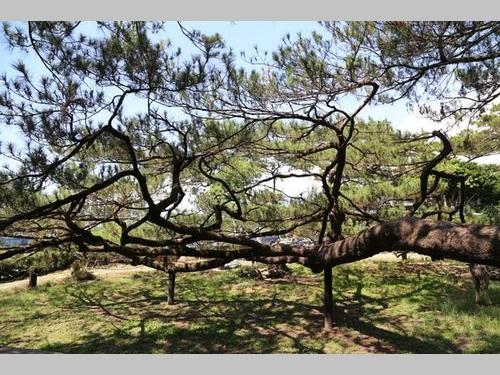 日本統治時代から残る松林、写真撮影の名所に/台湾・花蓮
