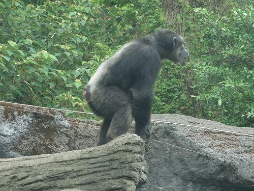 チンパンジーが脱走 約30分後に自分で戻る けが人なし/台湾・台北