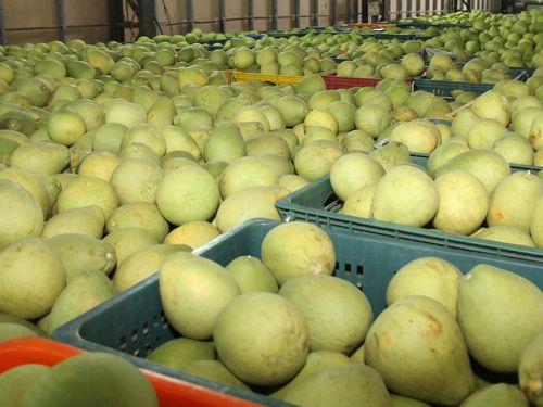 台南の麻豆ブンタンが収穫期 今年は豊作/台湾
