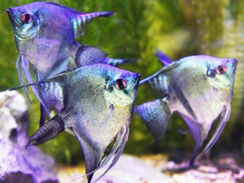 台湾観賞魚博覧会をPR メタリックカラーのエンゼルフィッシュ初公開