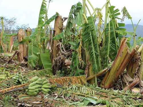 台風で倒れるバナナの木=資料写真