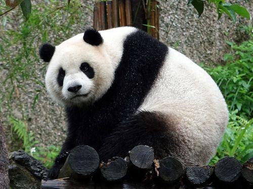 ジャイアントパンダのメス「円仔」=台北市立動物園提供