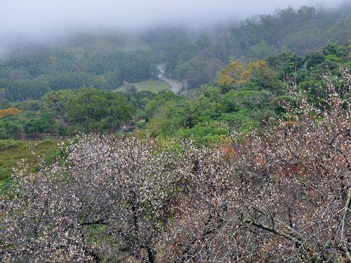 台東・鸞山部落の梅