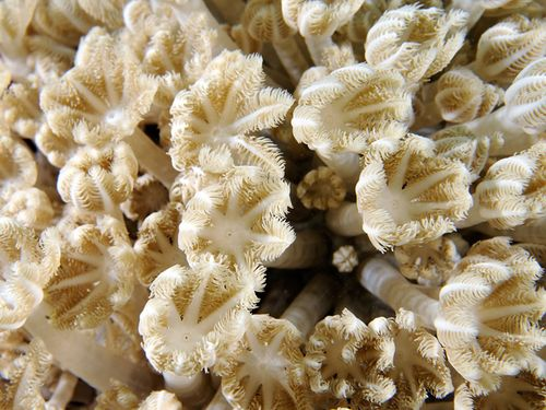 八放サンゴ=海洋国家公園管理処提供