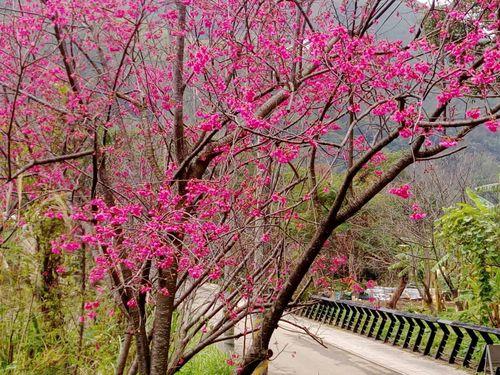 台湾各地で桜が見頃  旧正月連休中の行楽スポットに/台湾