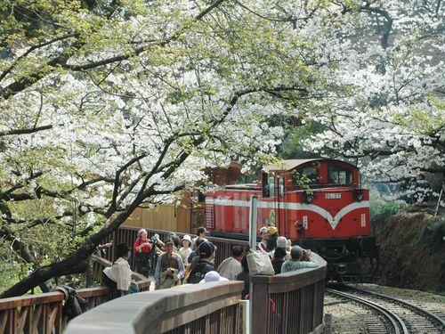 満開の桜の下を走る阿里山森林鉄道の列車