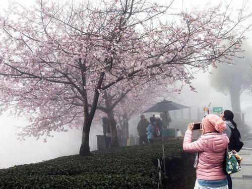 阿里山の桜=3月12日撮影
