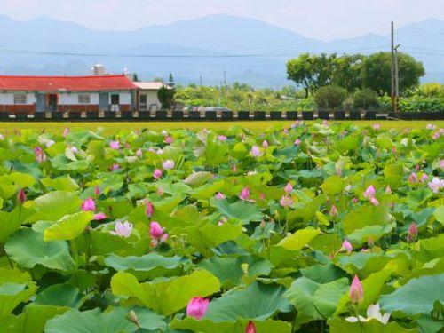 ハスの栽培面積で台湾一を誇る南部・台南市白河区=台南市政府提供