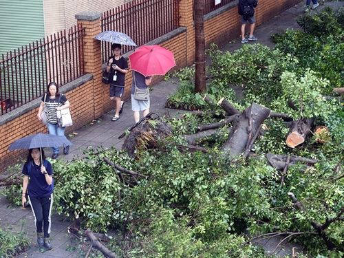台風8号で倒れた街路樹=台北市内
