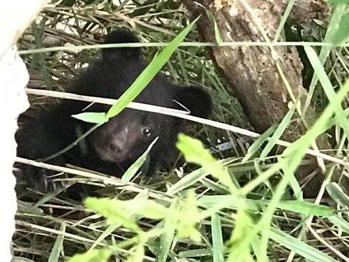 迷子の子グマ=7月30日撮影、花蓮林区管理処提供