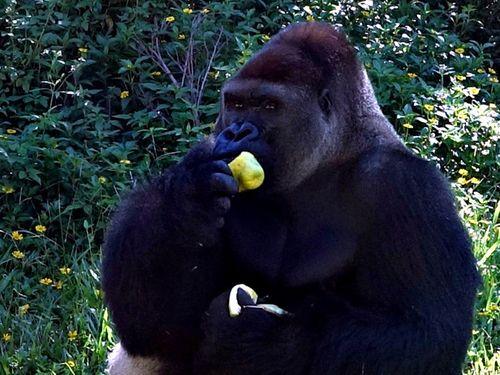 旬の味覚「文旦」を楽しむニシゴリラ=台北市立動物園提供