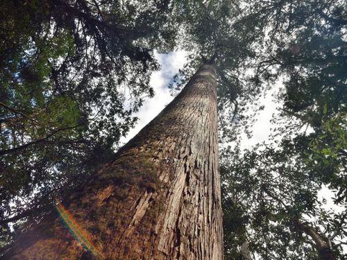 台東林区管理処の森林調査隊が見つけた巨大なタイワンベニヒノキ=同処提供
