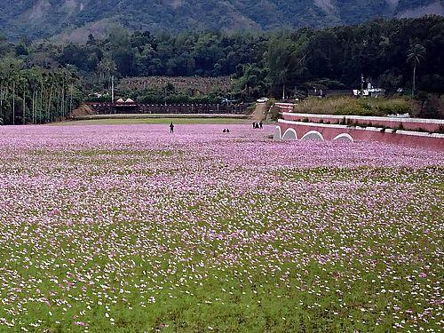 台東県鹿野・二層坪水橋そばを彩るコスモスの花