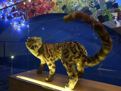 台湾博物館(台北市)が所蔵するウンピョウの標本