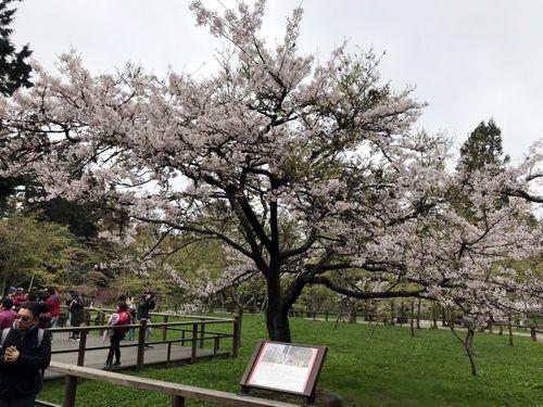 阿里山の「桜王」=林務局嘉義林区管理処提供