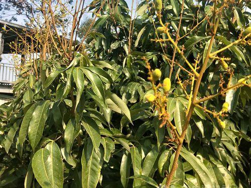 高雄市大樹で栽培される玉荷包ライチ=同市農業局提供