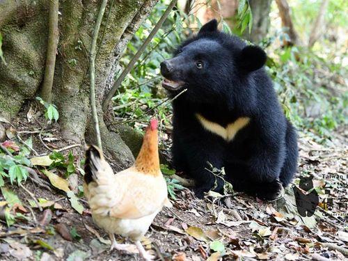すくすく成長する子グマと仲間のニワトリ=台湾黒熊保育協会のフェイスブックページより
