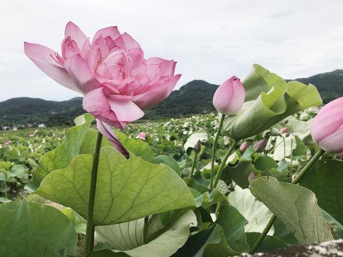 ハスの花が見頃を迎える新北市金山区の清水農地