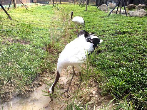台北市立動物園で飼育されている日本の特別天然記念物タンチョウヅル=同園提供