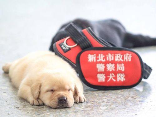 新北市の警察犬に可愛い仲間 すでに多数のファン獲得