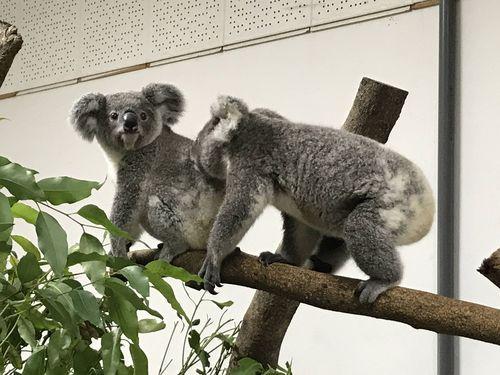 動物園の人気者!コアラ版のチップとデールにほっこり