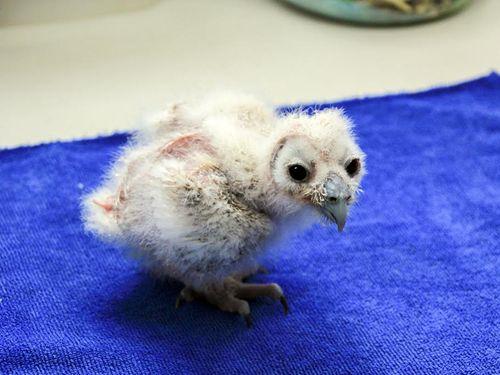 台北の動物園に新たな生命 オオフクロウの人工ふ化に初成功