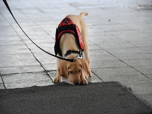 ネットで話題になった警察犬の子犬、ちょっとお兄さんっぽく成長